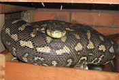 Coastal Carpet Python in draw