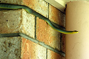 Common Tree snake on brick wall